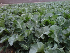 California cruciferous in the field