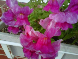 Snapdragons dark pink