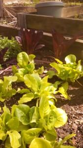 Lettuce in garden