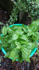 Fresh basil in July